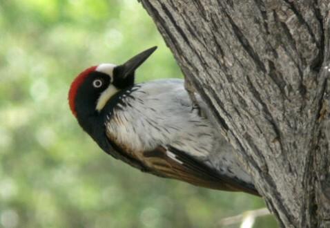 woodpecker-by-Linda-Tanner